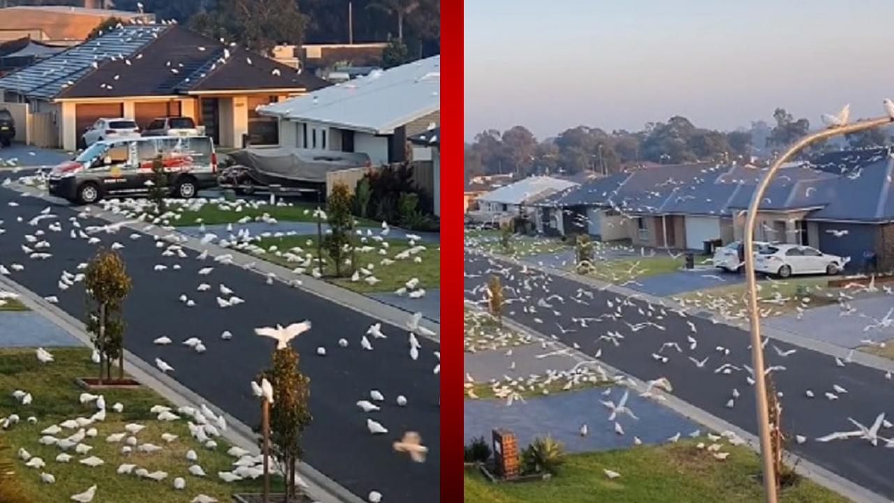 Cacatúas invaden una comunidad australiana y provocan miedo entre sus habitantes