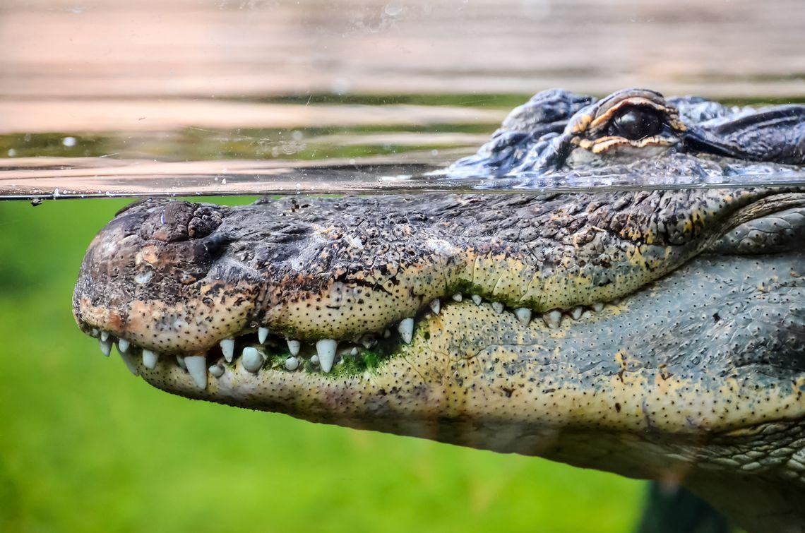 Encuentran a un cocodrilo nadando en la alberca en Altamira