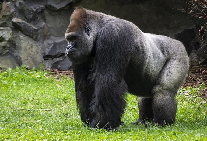 Dan positivo a coronavirus gorilas del zoológico de San Diego